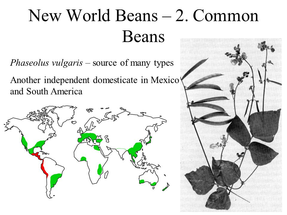 New World Beans – 2.