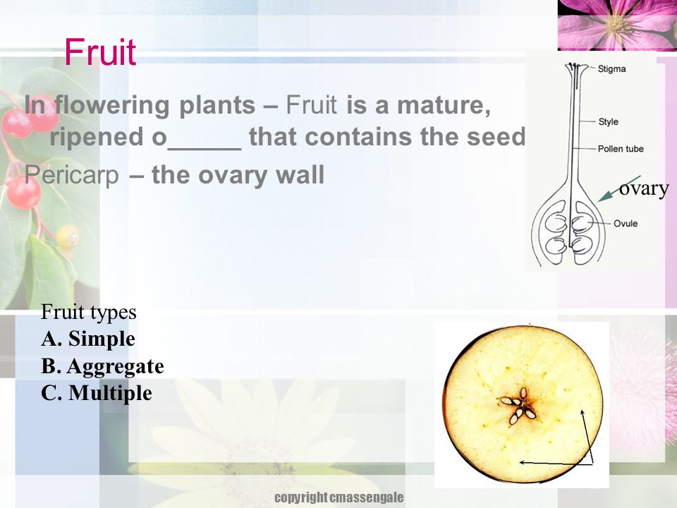 A.Simple fruit A. Simple fruit – develops from a ______ ovary of a single flower.