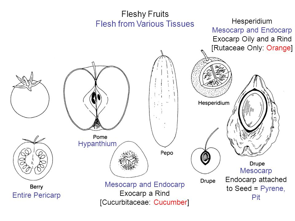 Hesperidium Mesocarp and Endocarp Exocarp Oily and a Rind [Rutaceae Only: Orange] Fleshy Fruits Flesh from Various Tissues Entire Pericarp Hypanthium Mesocarp and Endocarp Exocarp a Rind [Cucurbitaceae: Cucumber] Mesocarp Endocarp attached to Seed = Pyrene, Pit