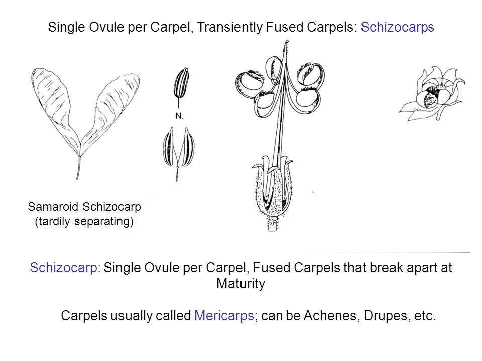 Schizocarp: Single Ovule per Carpel, Fused Carpels that break apart at Maturity Carpels usually called Mericarps; can be Achenes, Drupes, etc.
