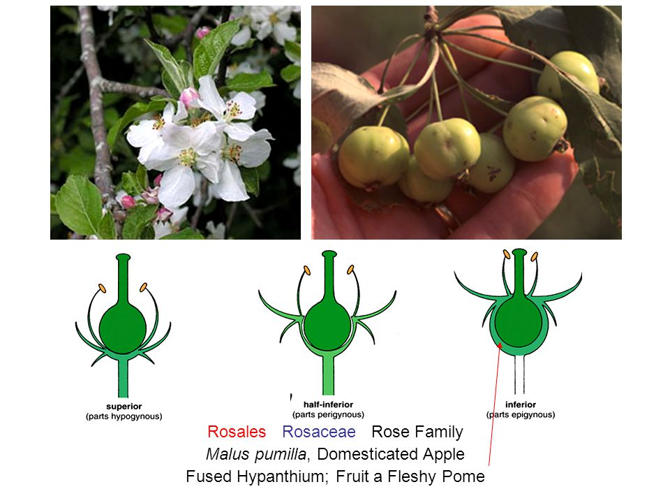 Rosales Rosaceae Rose Family Malus pumilla, Domesticated Apple Fused Hypanthium; Fruit a Fleshy Pome