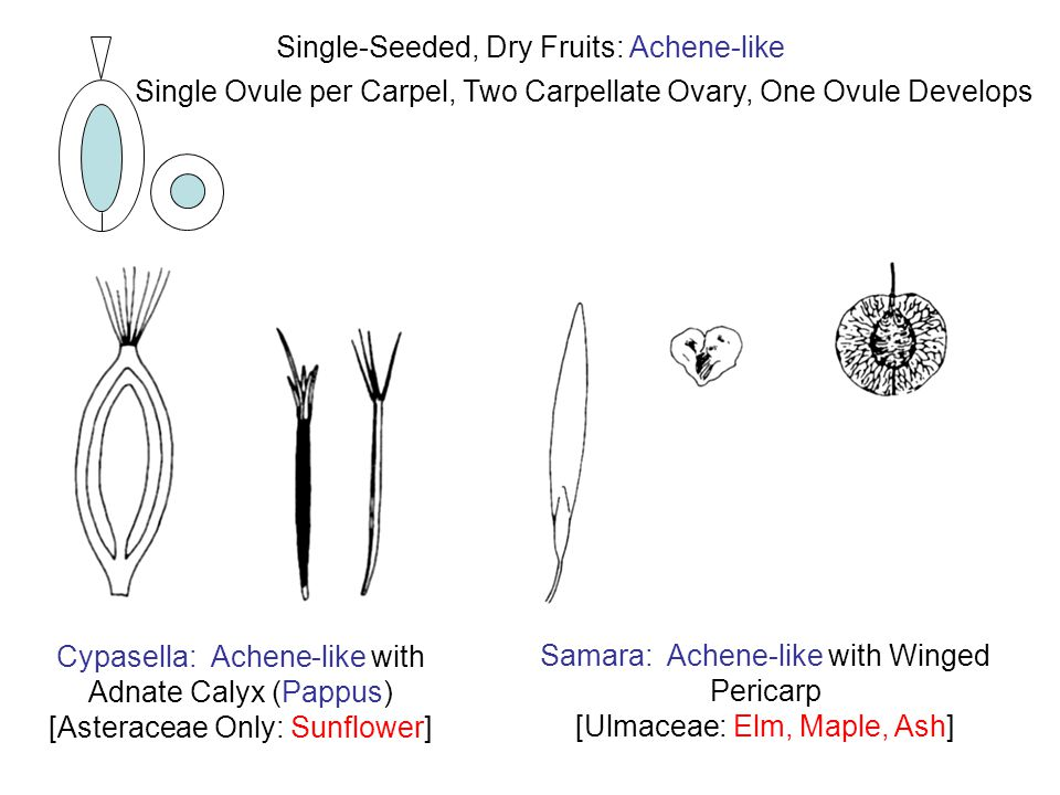 Cypasella: Achene-like with Adnate Calyx (Pappus) [Asteraceae Only: Sunflower] Single Ovule per Carpel, Two Carpellate Ovary, One Ovule Develops Single-Seeded, Dry Fruits: Achene-like Samara: Achene-like with Winged Pericarp [Ulmaceae: Elm, Maple, Ash]