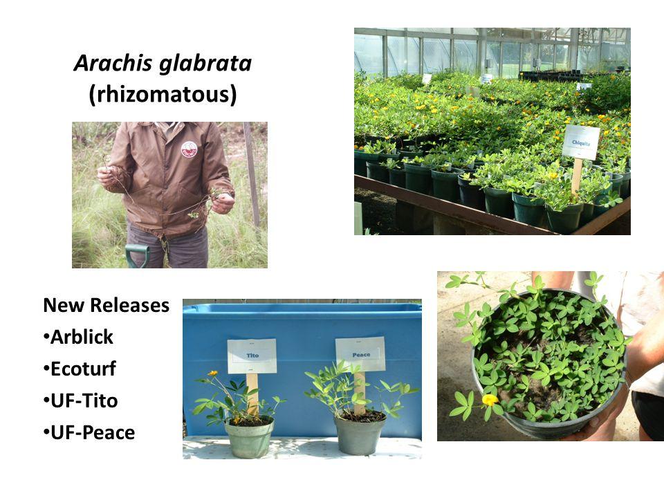 Arachis glabrata (rhizomatous) New Releases Arblick Ecoturf UF-Tito UF-Peace