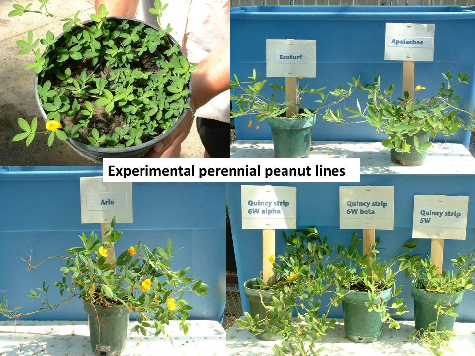 Experimental perennial peanut lines