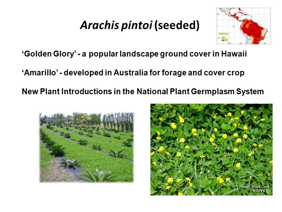 Arachis pintoi (seeded) 'Golden Glory' - a popular landscape ground cover in Hawaii 'Amarillo' - developed in Australia for forage and cover crop New Plant Introductions in the National Plant Germplasm System