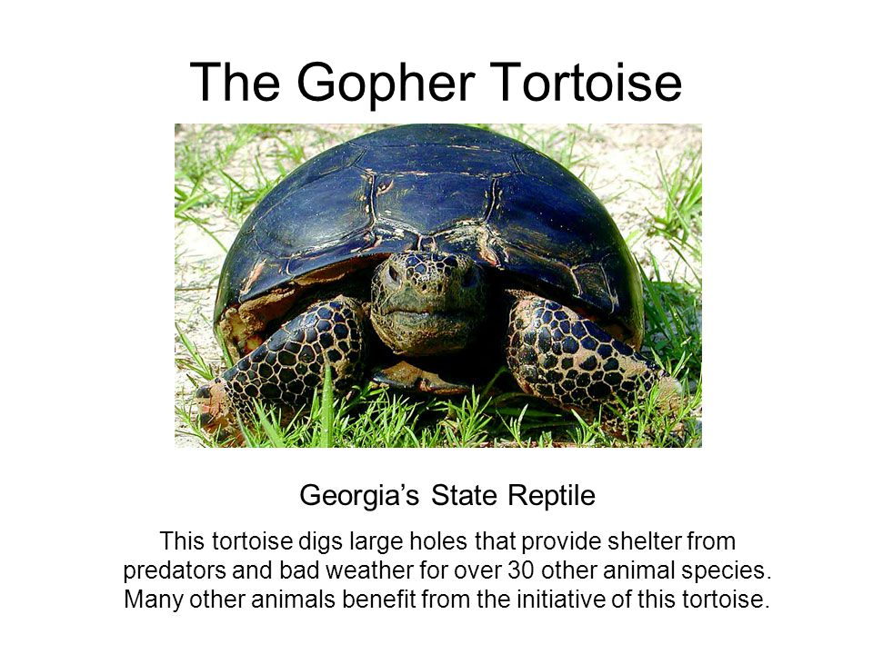 The Gopher Tortoise Georgia's State Reptile This tortoise digs large holes that provide shelter from predators and bad weather for over 30 other anima