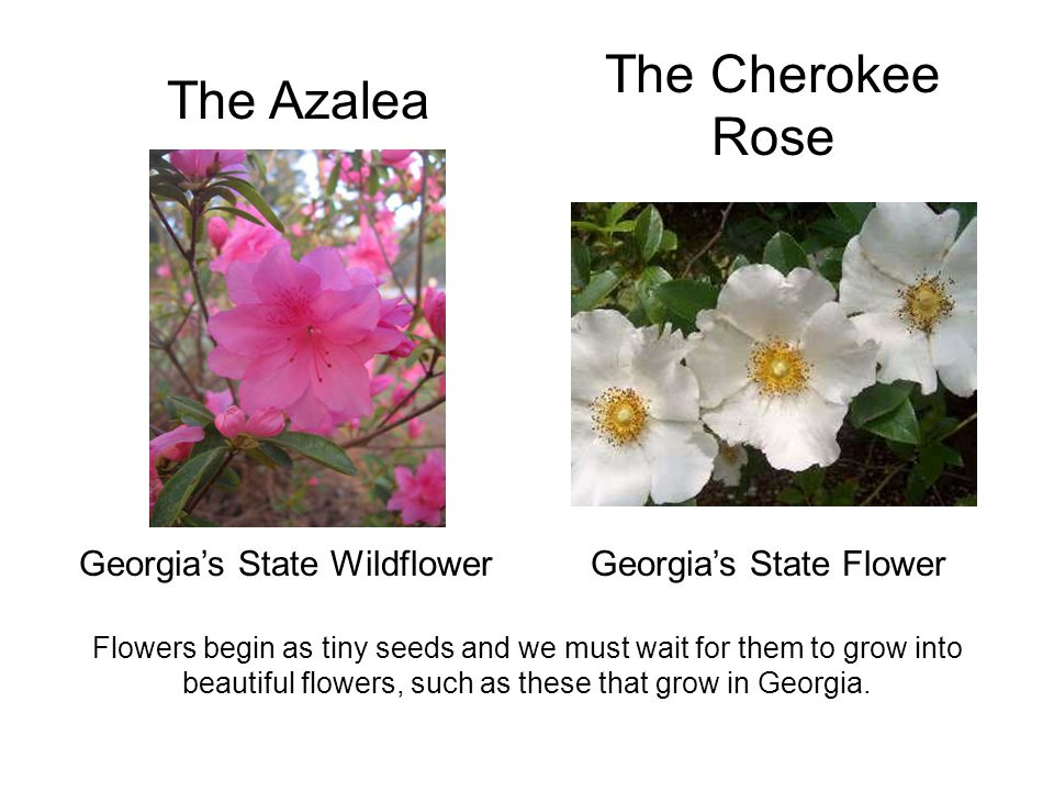 The Azalea The Cherokee Rose Georgia's State FlowerGeorgia's State Wildflower Flowers begin as tiny seeds and we must wait for them to grow into beaut