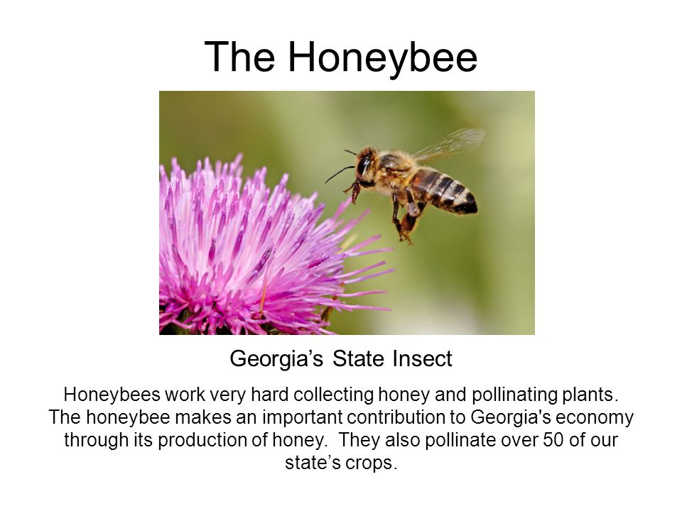 The Honeybee Georgia's State Insect Honeybees work very hard collecting honey and pollinating plants. The honeybee makes an important contribution to