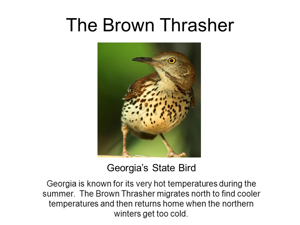 The Brown Thrasher Georgia's State Bird Georgia is known for its very hot temperatures during the summer. The Brown Thrasher migrates north to find co