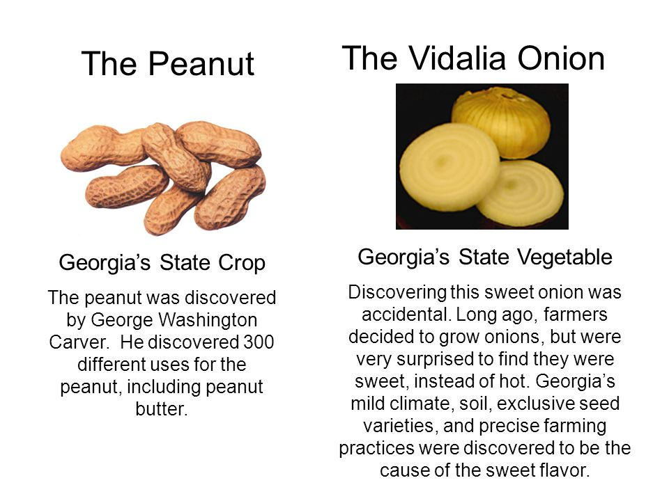 The Peanut The Vidalia Onion Georgia's State Crop The peanut was discovered by George Washington Carver. He discovered 300 different uses for the pean