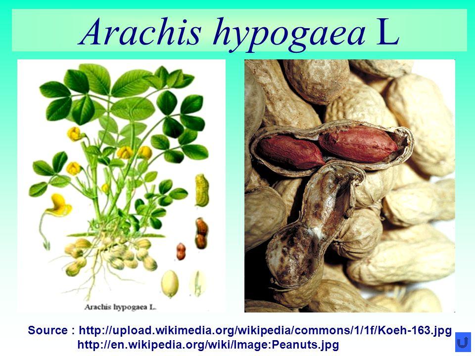Arachis hypogaea L Source : http://upload.wikimedia.org/wikipedia/commons/1/1f/Koeh-163.jpg http://en.wikipedia.org/wiki/Image:Peanuts.jpg