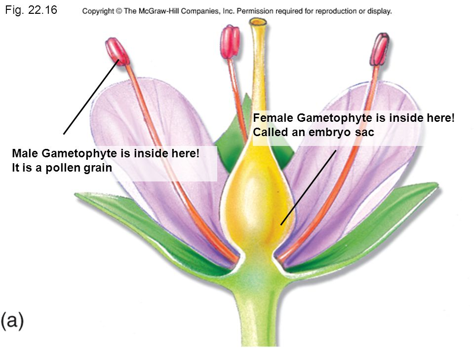 Fig. 22.16 Male Gametophyte is inside here.