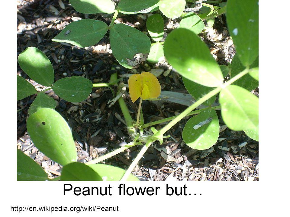 http://en.wikipedia.org/wiki/Peanut Peanut flower but…