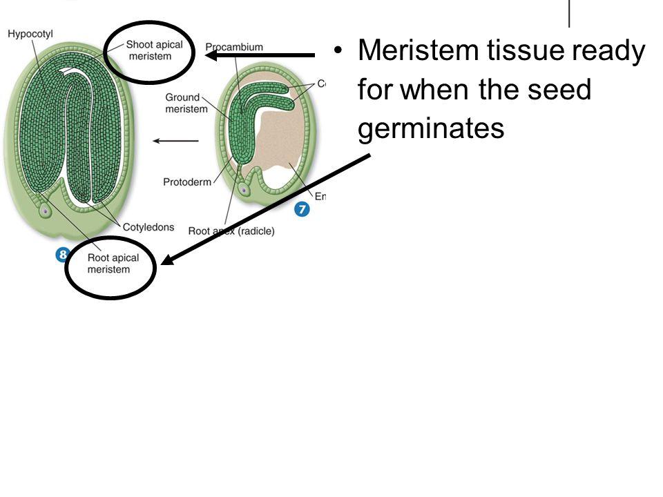 Meristem tissue ready for when the seed germinates