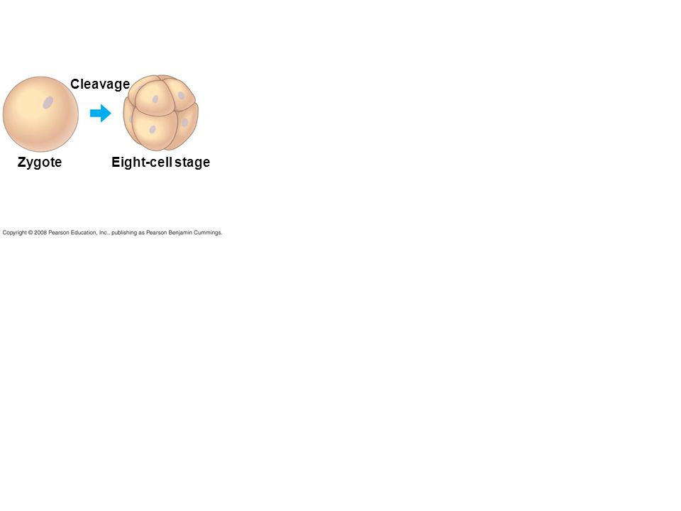 Zygote Cleavage Eight-cell stage