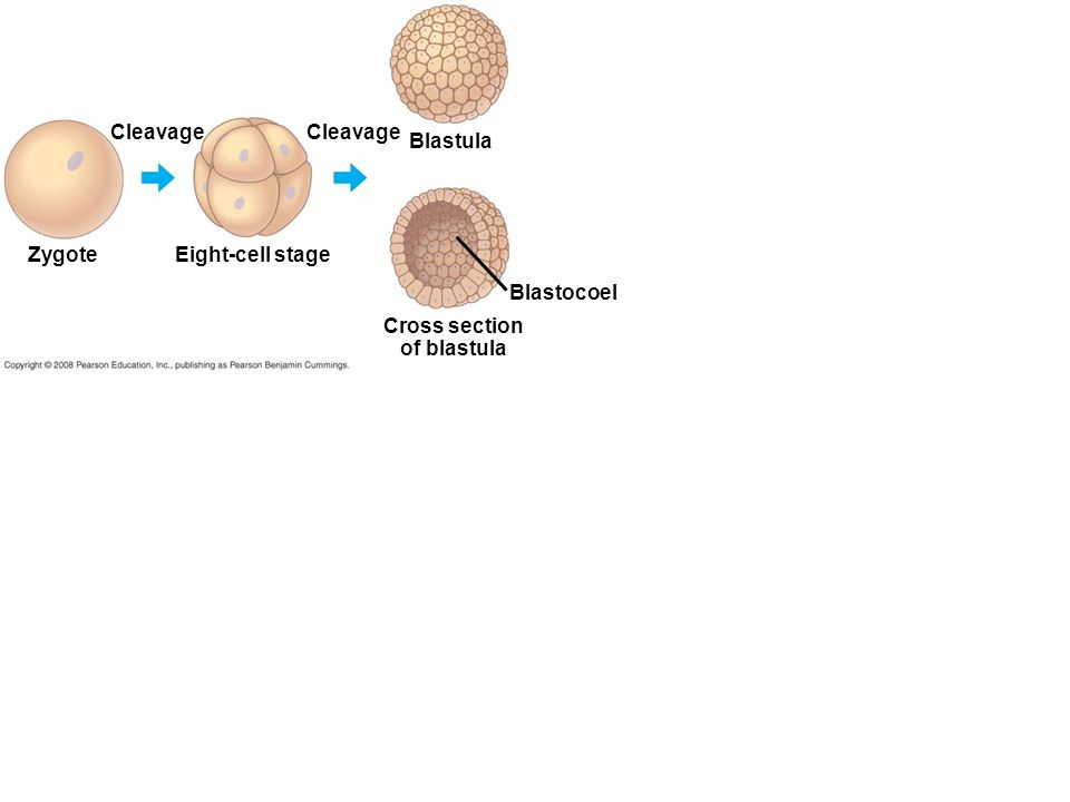 Zygote Cleavage Eight-cell stage Cleavage Blastula Cross section of blastula Blastocoel
