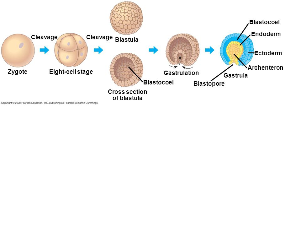 Zygote Cleavage Eight-cell stage Cleavage Blastula Cross section of blastula Blastocoel Gastrulation Blastopore Gastrula Archenteron Ectoderm Endoderm Blastocoel