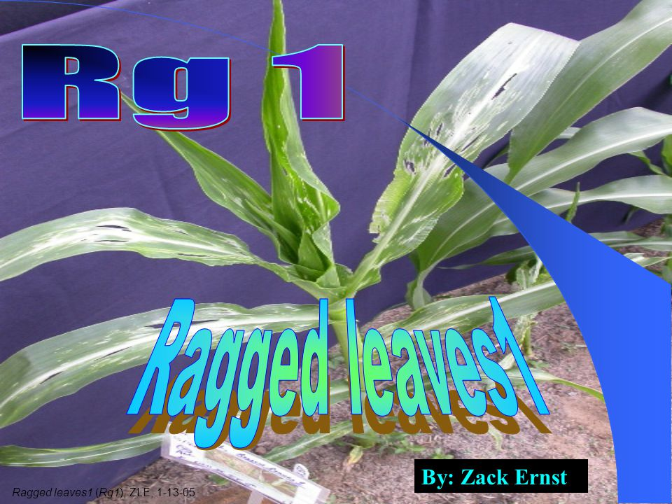 By: Zack Ernst Ragged leaves1 (Rg1), ZLE, 1-13-05