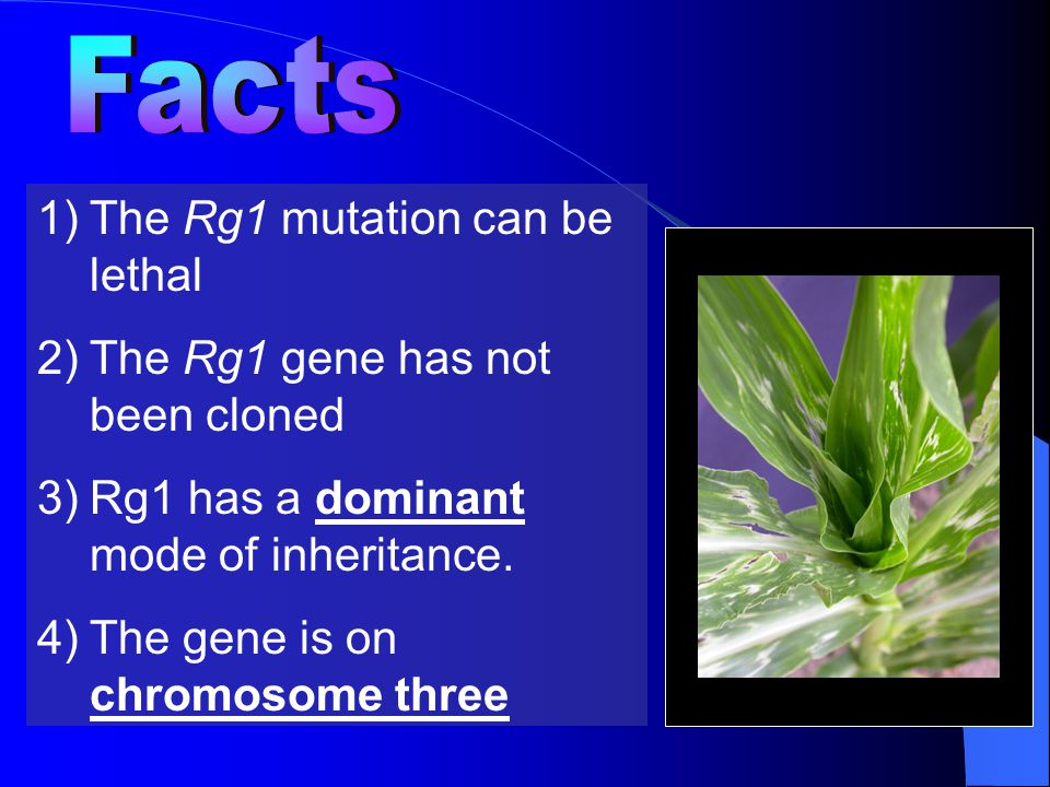 1)The Rg1 mutation can be lethal 2)The Rg1 gene has not been cloned 3)Rg1 has a dominant mode of inheritance.