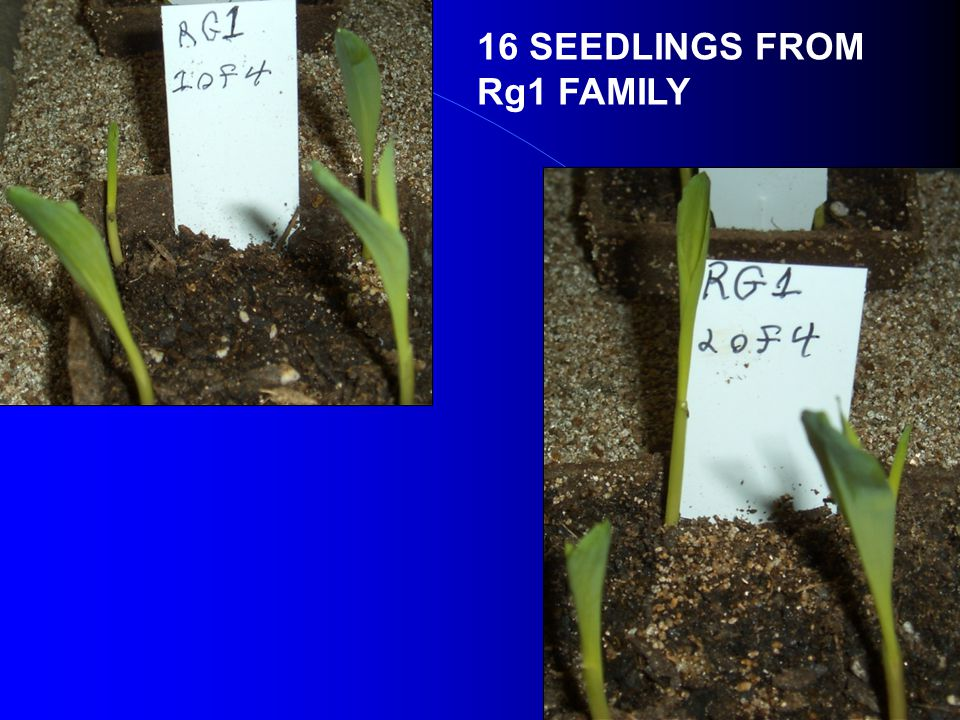 16 SEEDLINGS FROM Rg1 FAMILY