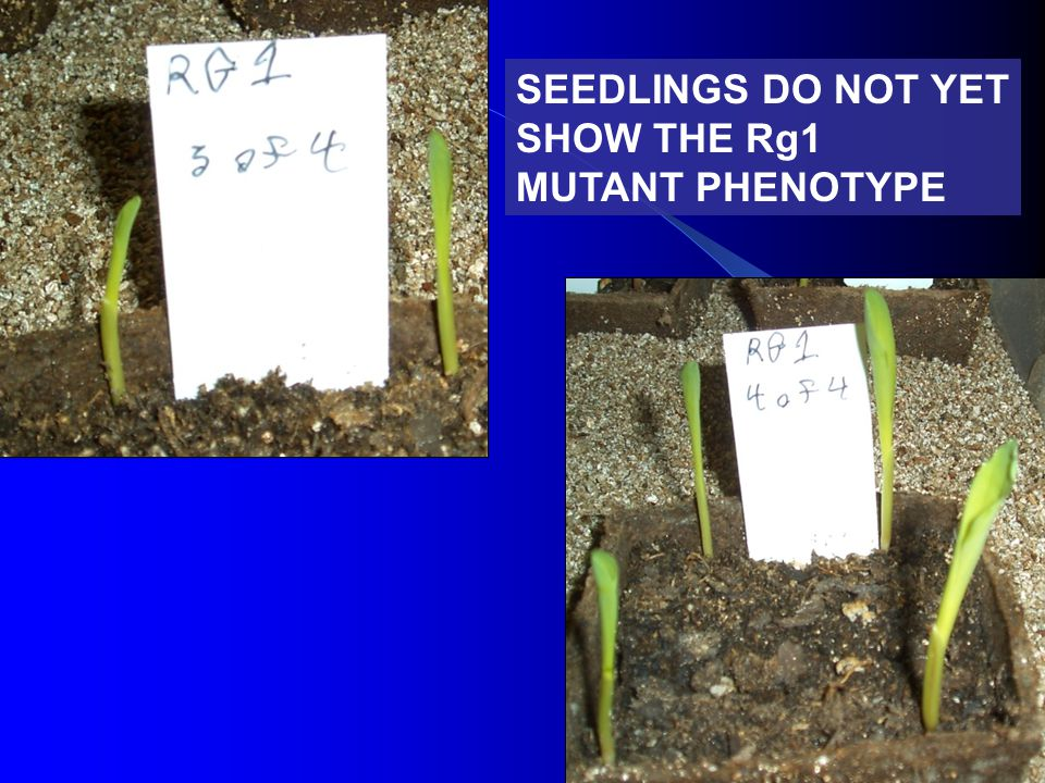 SEEDLINGS DO NOT YET SHOW THE Rg1 MUTANT PHENOTYPE