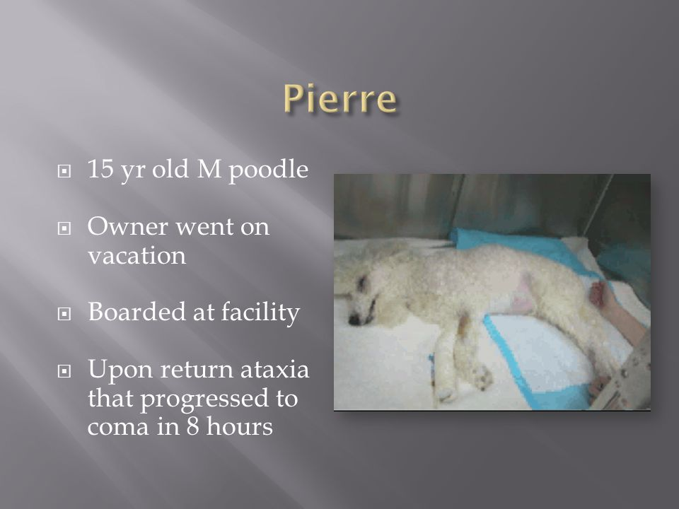  15 yr old M poodle  Owner went on vacation  Boarded at facility  Upon return ataxia that progressed to coma in 8 hours