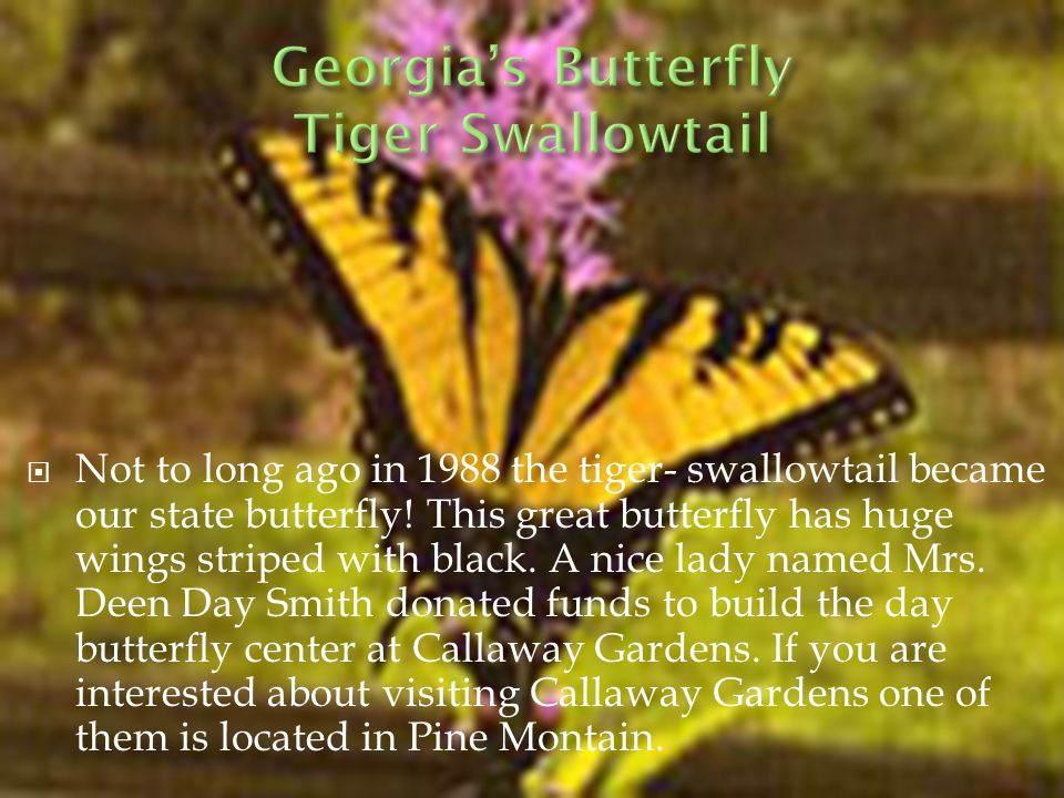  Not to long ago in 1988 the tiger- swallowtail became our state butterfly.