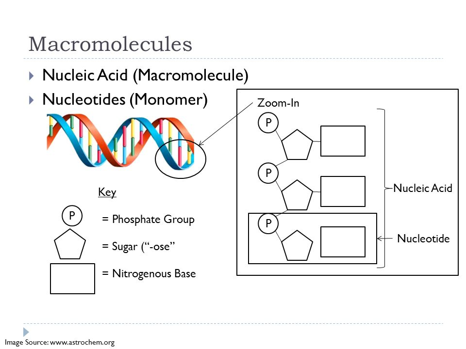 Macromolecules  Nucleic Acid (Macromolecule)  Nucleotides (Monomer) Zoom-In P P P Nucleotide Nucleic Acid P = Phosphate Group = Sugar ( -ose = Nitrogenous Base Key Image Source: www.astrochem.org
