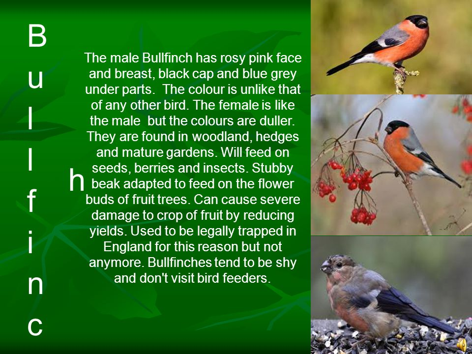 The male Bullfinch has rosy pink face and breast, black cap and blue grey under parts.