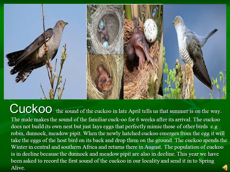 Cuckoo the sound of the cuckoo in late April tells us that summer is on the way.