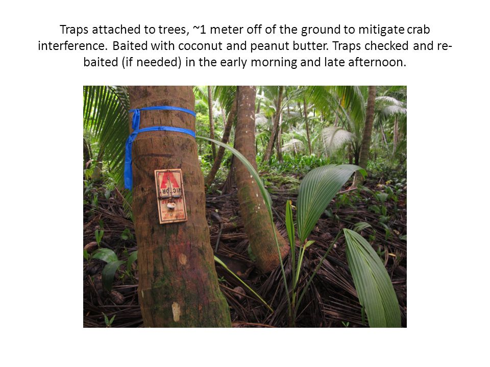 Traps attached to trees, ~1 meter off of the ground to mitigate crab interference. Baited with coconut and peanut butter. Traps checked and re- baited