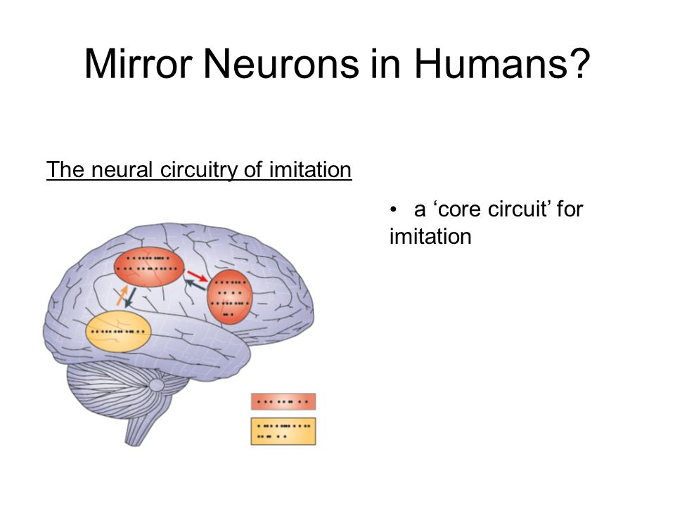 Mirror Neurons in Humans The neural circuitry of imitation a 'core circuit' for imitation
