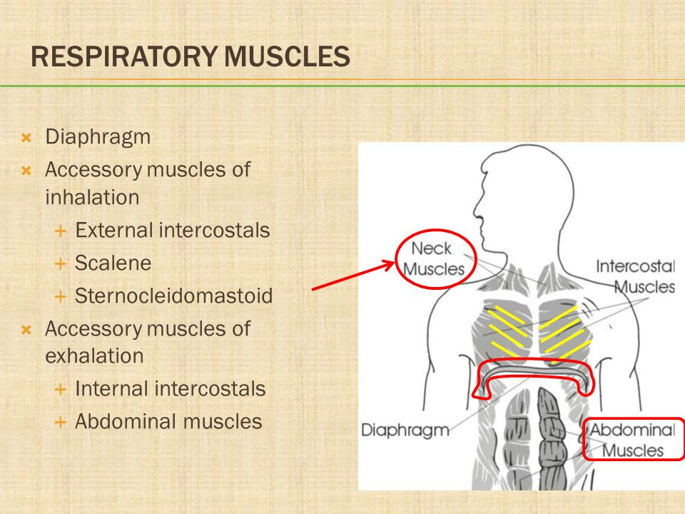 RESPIRATORY MUSCLES  Diaphragm  Accessory muscles of inhalation  External intercostals  Scalene  Sternocleidomastoid  Accessory muscles of exhal