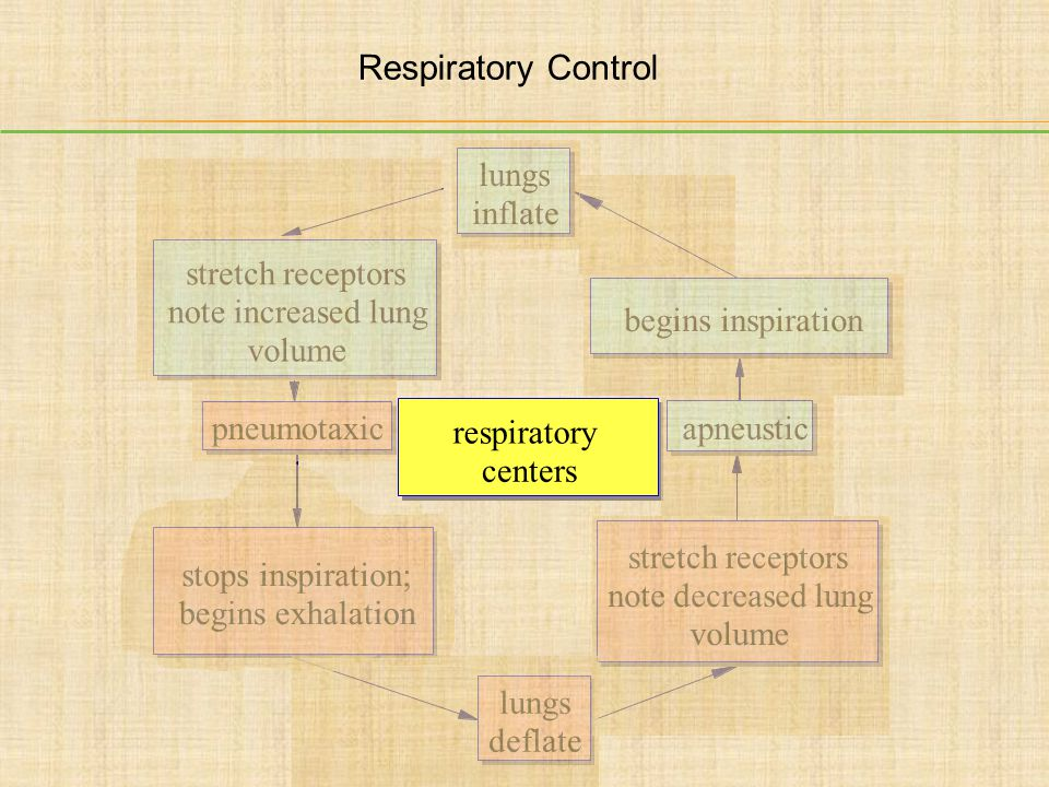 respiratory centers pneumotaxic apneustic stops inspiration; begins exhalation lungs deflate stretch receptors note decreased lung volume begins inspi