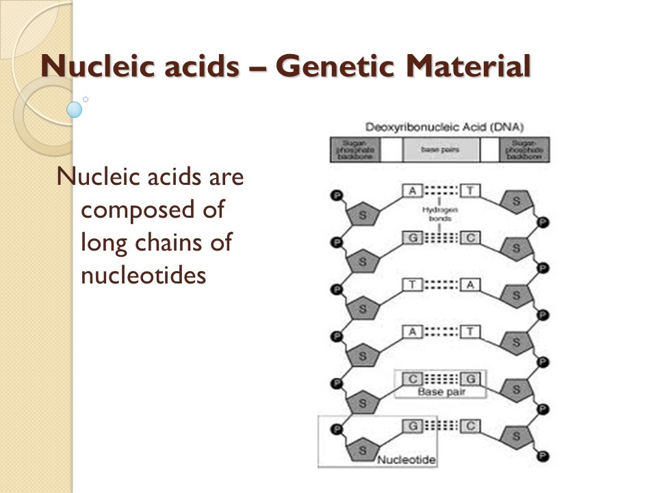 Nucleic acids – Genetic Material Nucleic acids are composed of long chains of nucleotides
