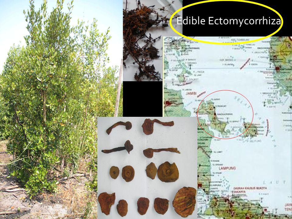 Edible Ectomycorrhiza
