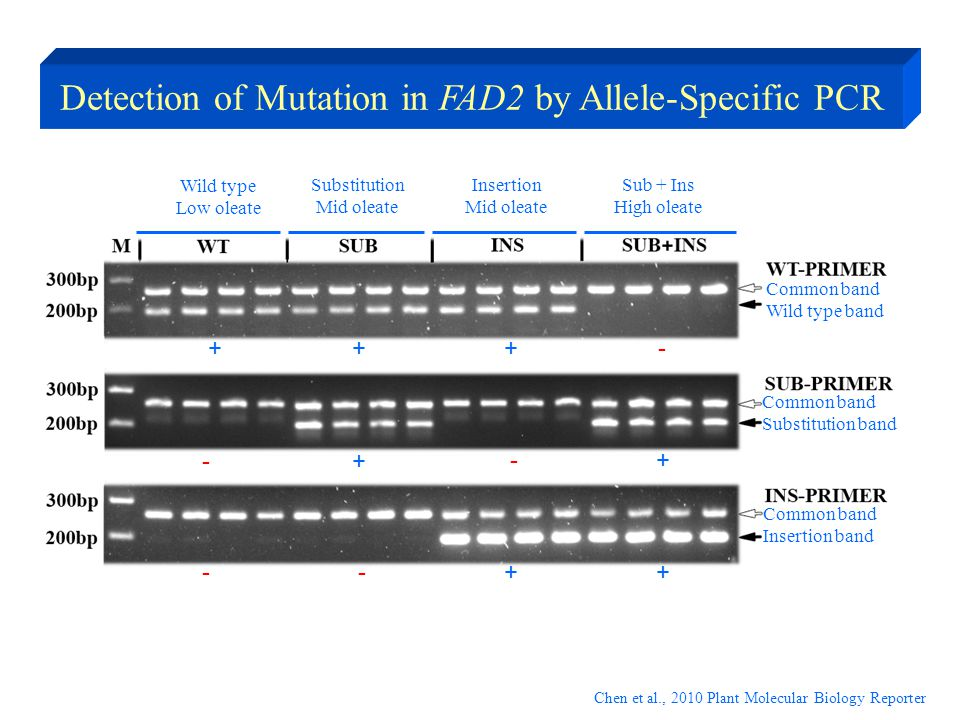 Detection of Mutation in FAD2 by Allele-Specific PCR Wild type Low oleate Common band Wild type band Common band Substitution band Common band Inserti