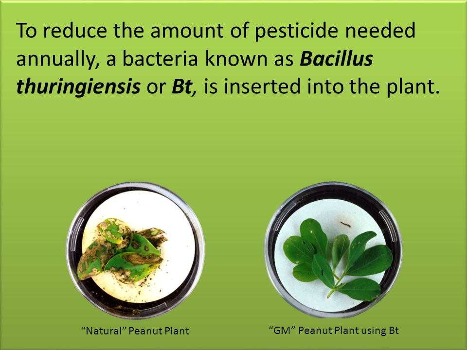 To reduce the amount of pesticide needed annually, a bacteria known as Bacillus thuringiensis or Bt, is inserted into the plant.