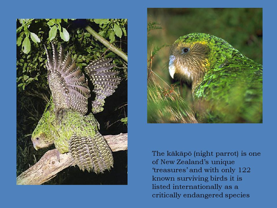 The kākāpō (night parrot) is one of New Zealand's unique 'treasures' and with only 122 known surviving birds it is listed internationally as a critica