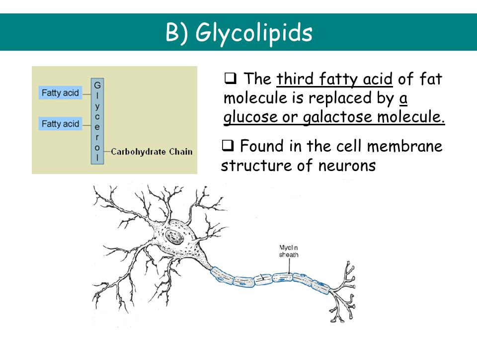 B) Glycolipids  Found in the cell membrane structure of neurons  The third fatty acid of fat molecule is replaced by a glucose or galactose molecule.