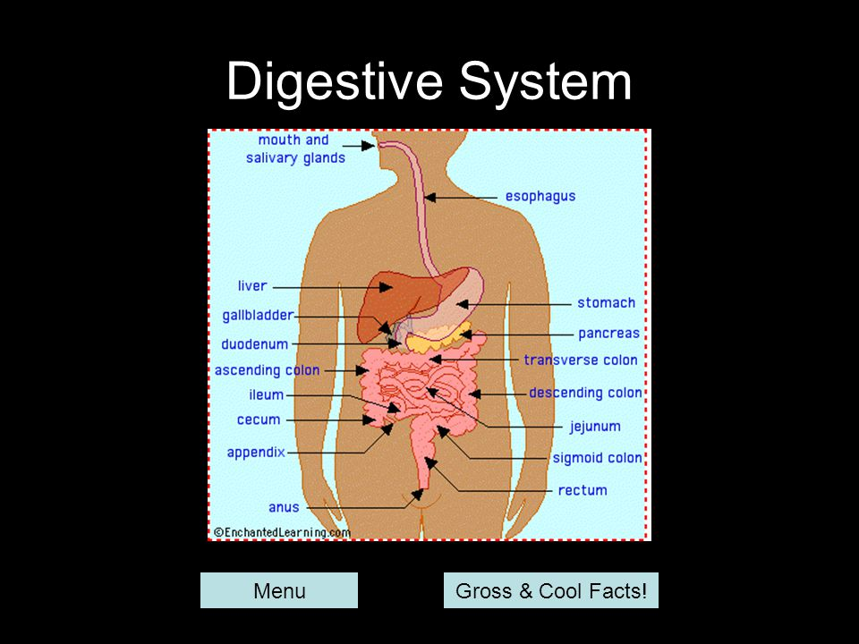 Digestive System MenuGross & Cool Facts!