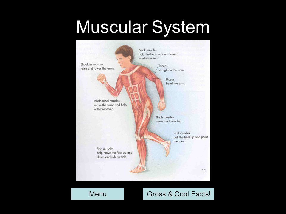 Muscular System MenuGross & Cool Facts!