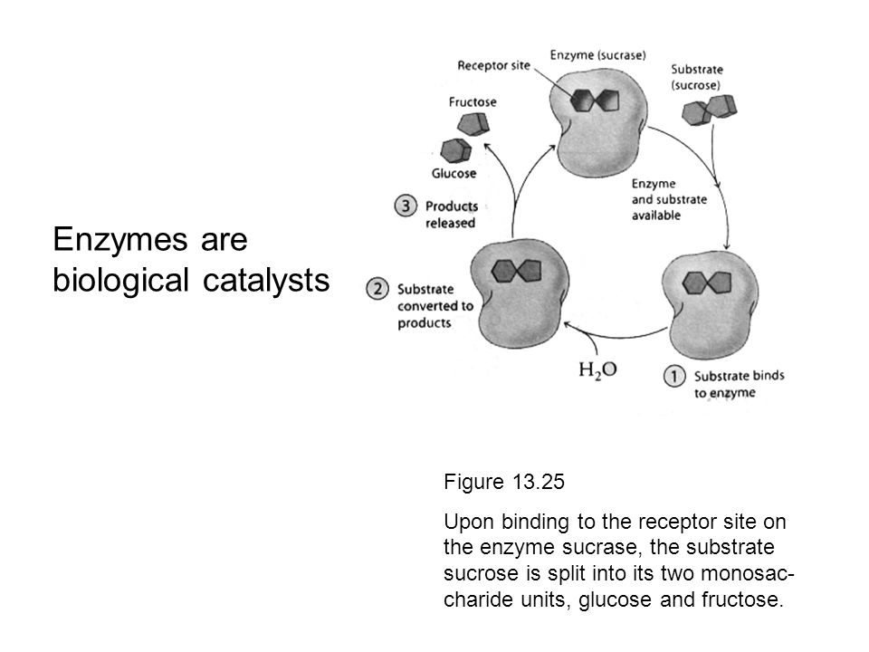 Enzymes are biological catalysts Figure 13.25 Upon binding to the receptor site on the enzyme sucrase, the substrate sucrose is split into its two mon