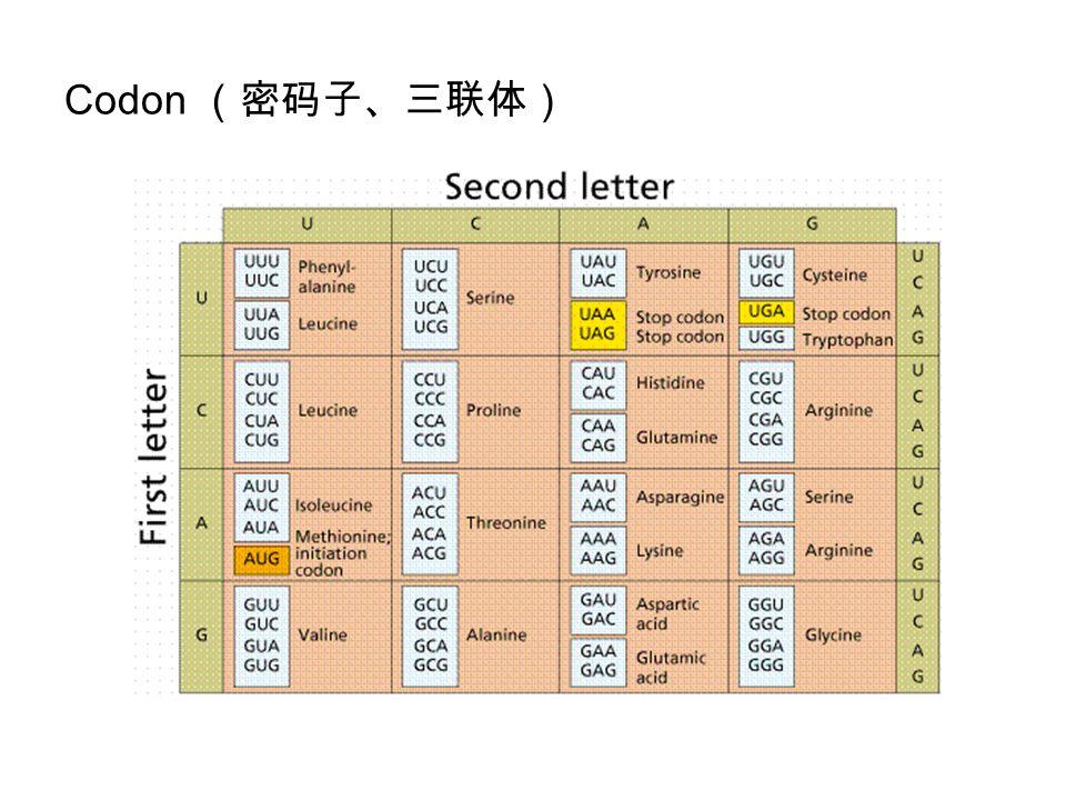 Codon (密码子、三联体)