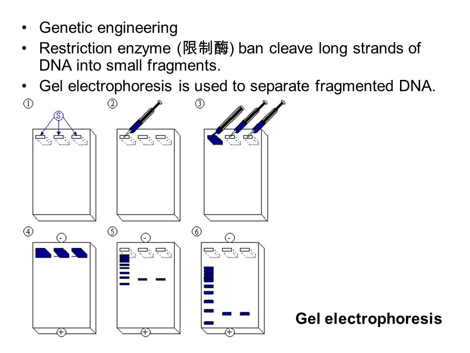 Genetic engineering Restriction enzyme ( 限制酶 ) ban cleave long strands of DNA into small fragments.