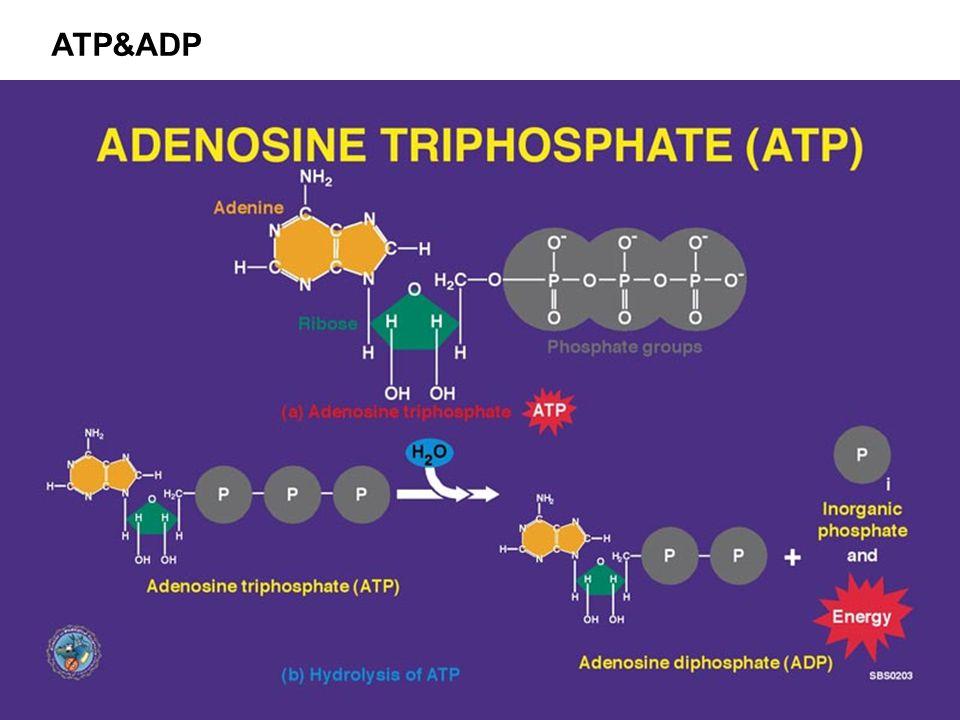 ATP&ADP