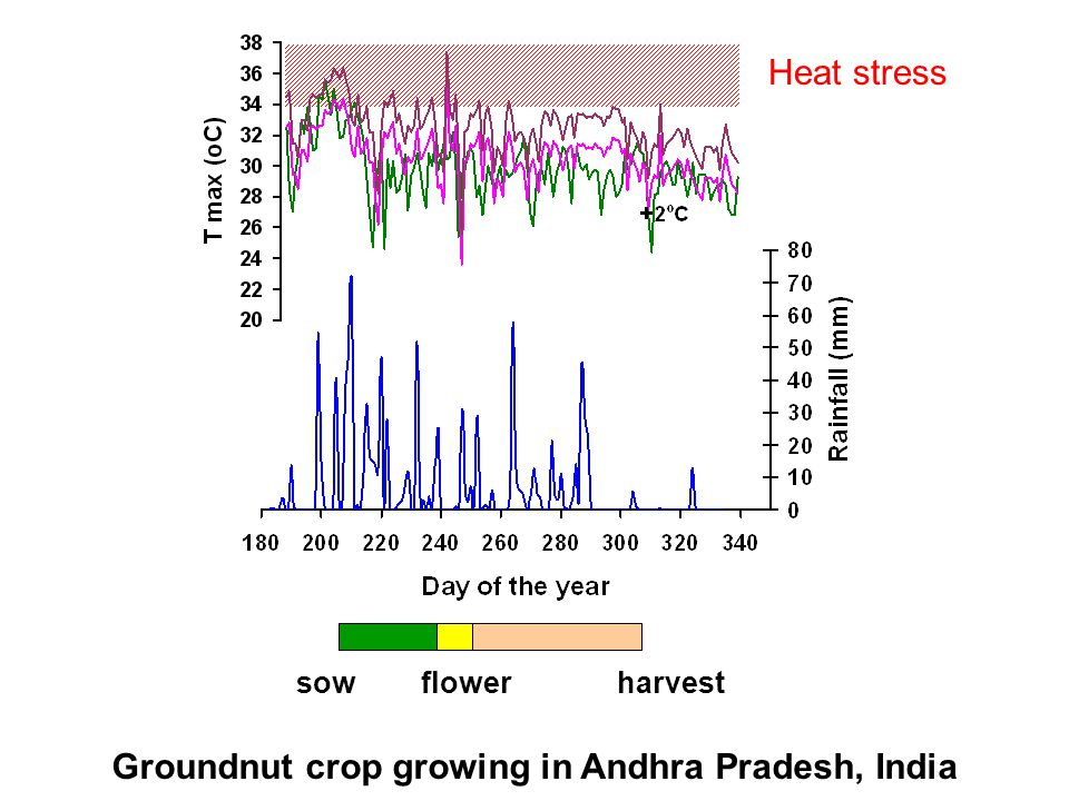 sowflowerharvest Groundnut crop growing in Andhra Pradesh, India Heat stress
