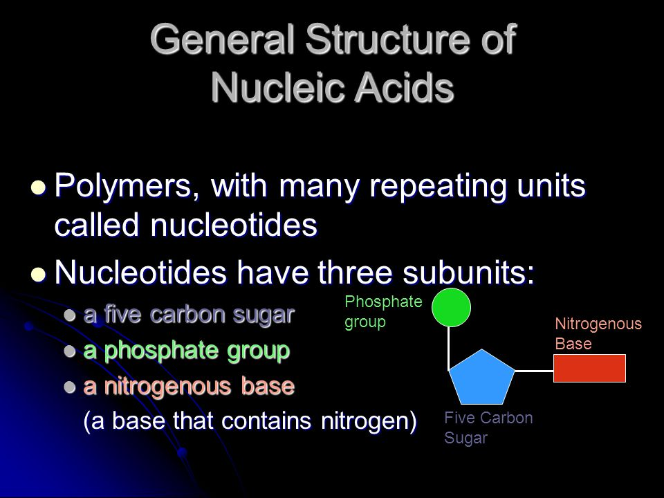 General Structure of Nucleic Acids Polymers, with many repeating units called nucleotides Polymers, with many repeating units called nucleotides Nucleotides have three subunits: Nucleotides have three subunits: a five carbon sugar a five carbon sugar a phosphate group a phosphate group a nitrogenous base a nitrogenous base (a base that contains nitrogen) (a base that contains nitrogen) Phosphate group Five Carbon Sugar Nitrogenous Base
