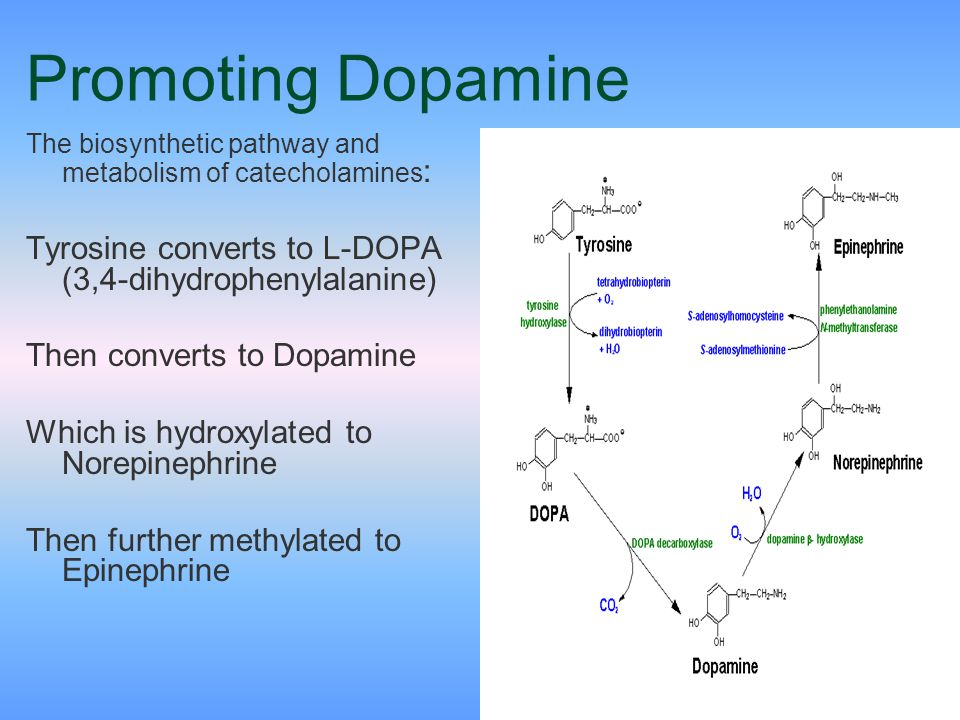 28 Promoting Dopamine The biosynthetic pathway and metabolism of catecholamines : Tyrosine converts to L-DOPA (3,4-dihydrophenylalanine) Then converts
