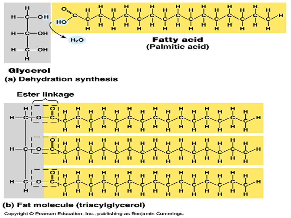 FATS & OILS TRIGLYCERIDES: Fat is also known as a triglyceride. It is a molecule made up of glycerol that is connected to 3 fatty acids chains: – Glyc